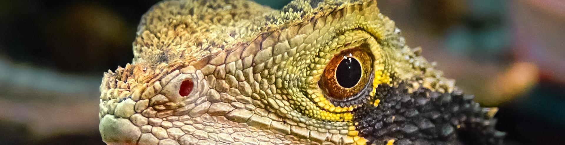Macro fotografía de un coloreado lagarto