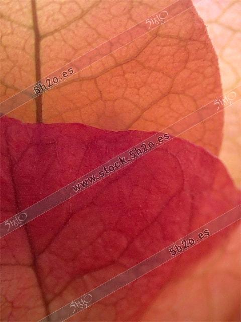 Macro fotografía de 5h2o de hojas superpuestas de buganvilla