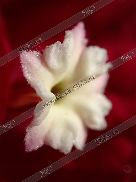 Macro fotografia de una flor de buganvilla
