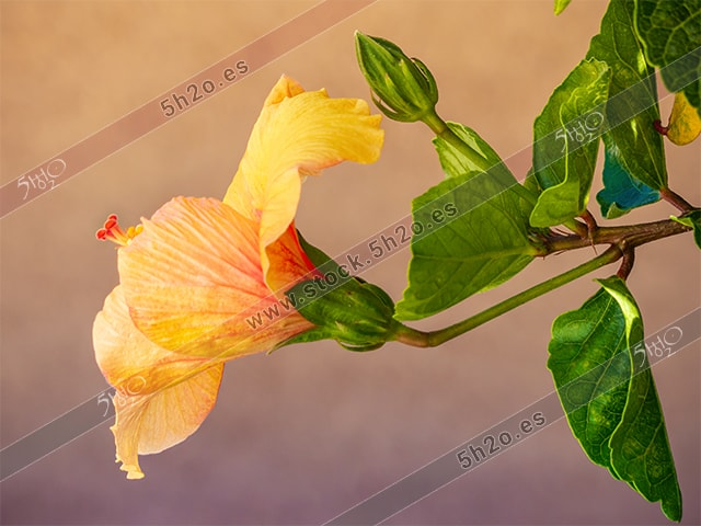 Foto de stock - Photo Stock - Fotografía de la flor de un hibiscus