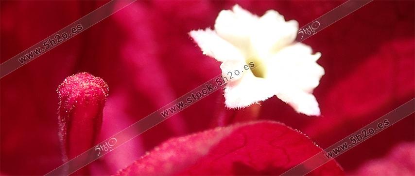 MacroFotografía de 5h2o de la flor de una bugambilla