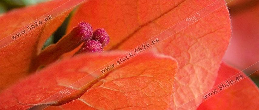 Macro fotografía de 5h2o de la flor de una buganvilla