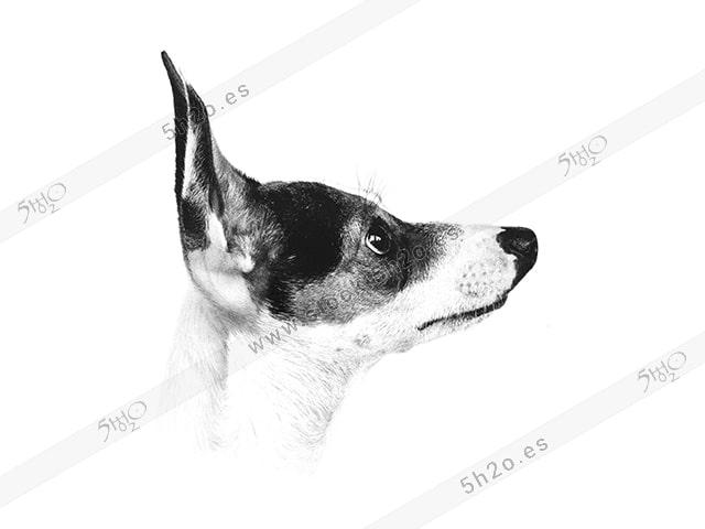 Foto de stock - Photo Stock - Perrita de perfil en blanco y negro
