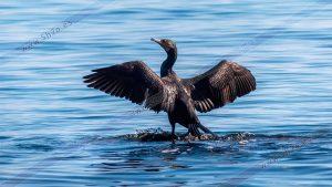 Foto de stock - Photo Stock - Cormoran secando las alas
