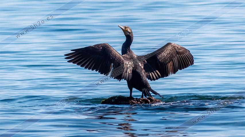 Foto de stock - Photo Stock - Cormoran sobre una piedra secando sus alas