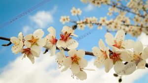 Foto de stock - Photo Stock - Flores de almendro en primavera