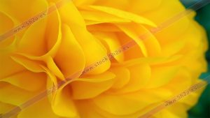 Foto de stock - Photo Stock - Petalos de color mango