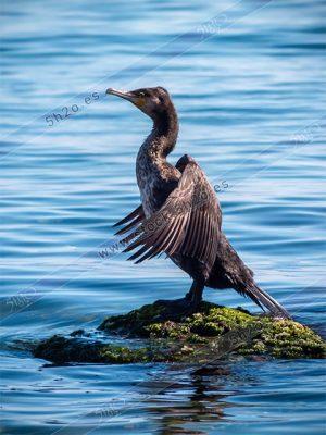 Foto de stock - Photo Stock - Cormoran de lado secando las alas sobre una piedra