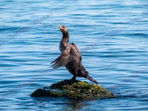 Foto de stock - Photo Stock - Cormoran sobre piedra en el mar