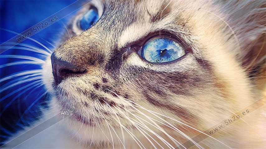 Foto de stock - Photo Stock - Gata de ojos azules