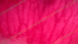 Foto de stock - Photo Stock - Hoja de rosa en macro fotografía