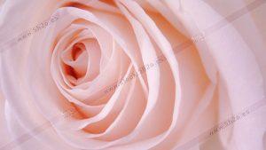 Foto de stock - Photo Stock - Macro del centro de una rosa