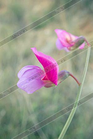 Foto de stock - Photo Stock - Macro foto de la flor de un guisante de playa