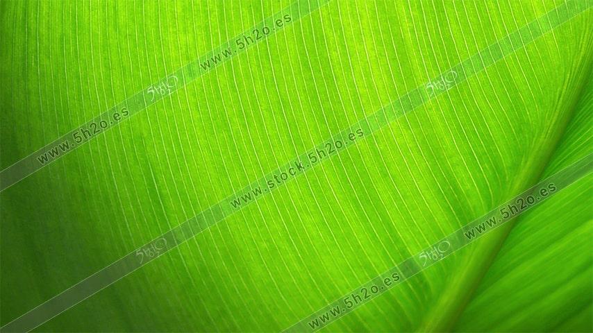 Foto de stock - Photo Stock - Hoja verde al trasluz - textura