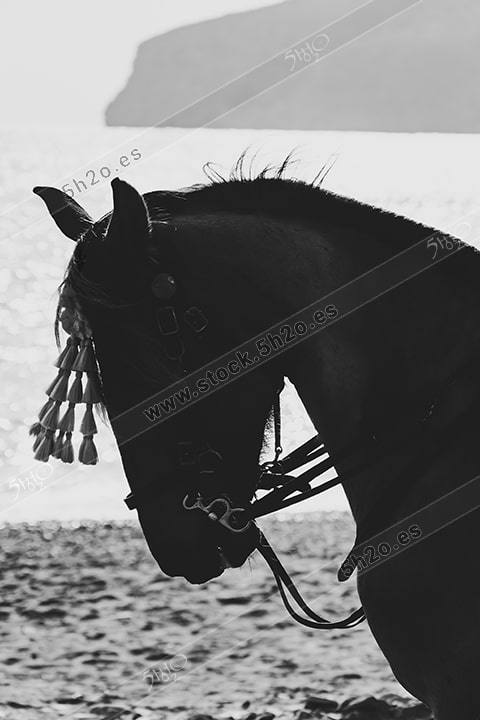 Foto de stock - Photo Stock - Caballo enjaezado en blanco y negro