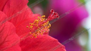 Foto de stock - Photo Stock - Macro fotografía de un hibiscus