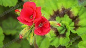 Foto de stock - Photo Stock - Flores de Geranio