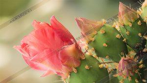 Foto de stock - Photo Stock - Macro fotografía de la flor de un cactus