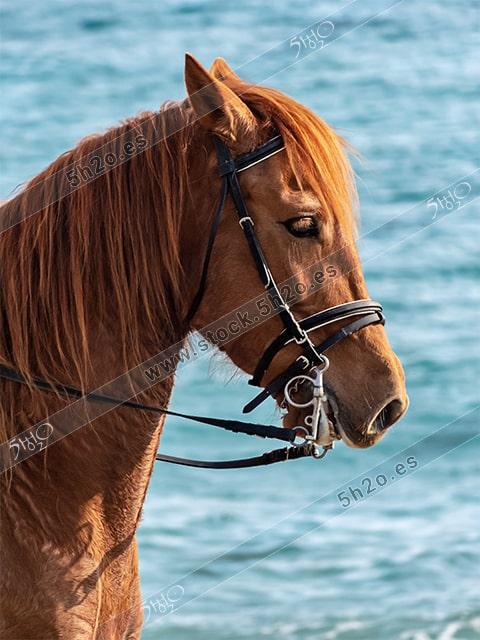 Foto de stock – Photo Stock by 5h2o – Caballo canelo en primer plano sobre un fondo de agua de mar